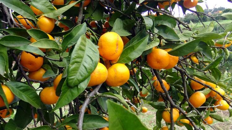 С одного дерева в урожайный год можно собрать до десяти ящиков мандаринов.
