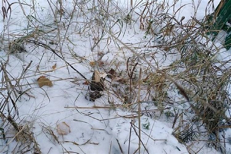 Голубую ель срубили под корень. Фото: пресс-служба администрации Саянска.