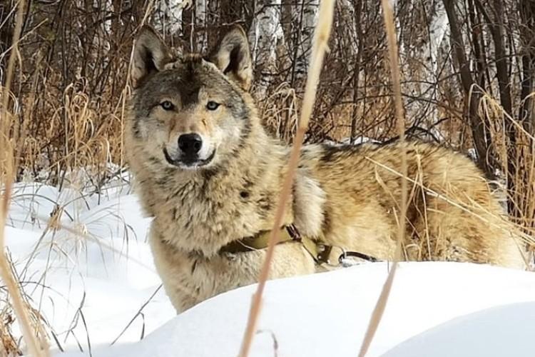 Молодой волк Серега всего за месяц стал отцом и встретил новую любовь. Фото: личный архив Андрея Абрамова.