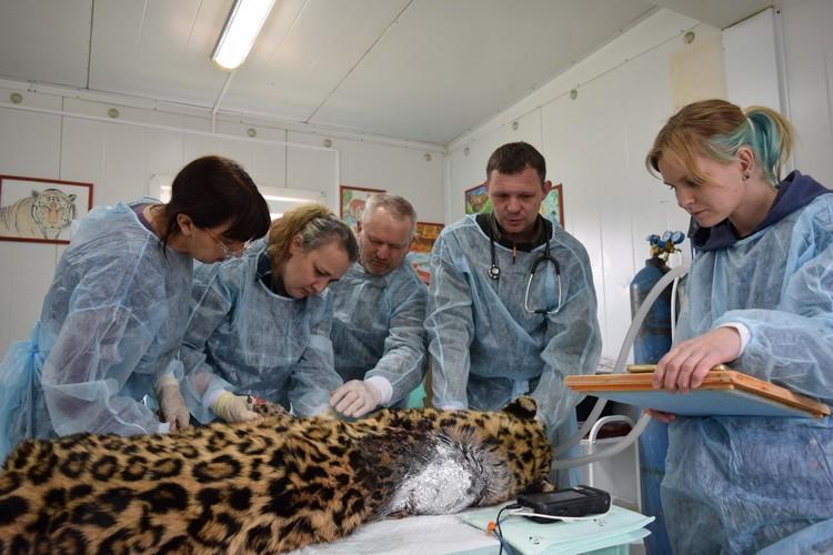 За время своего лечения пострадавший хищник набрал в весе 11 кило.