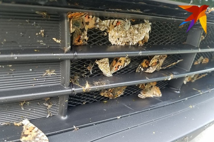 """Одна поездка по М1 и решетку капота машины украшает """"веер"""" из сбитых бабочек. Фото: Артем Базаров."""