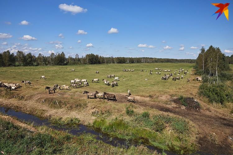 Тарпановидной лошади пришлись по вкусу белорусские поля.