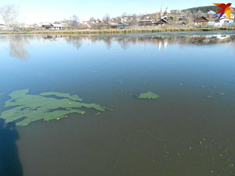 """Зеленые пятна расползлись по всей поверхности водоема. Фото: читательница """"КП"""""""