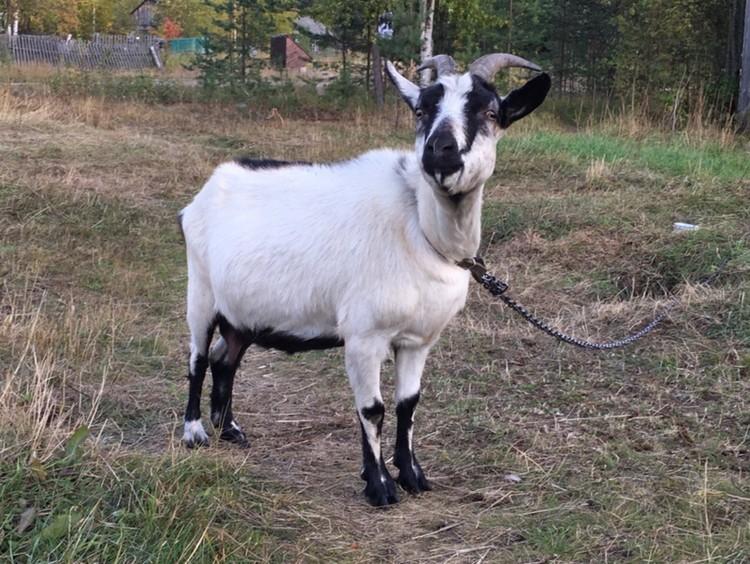 В поселок Кепа беглецы прибыли со всеми детьми, курами и козой.