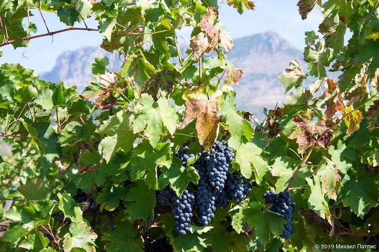 Площадь крымских виноградников увеличивается ежегодно
