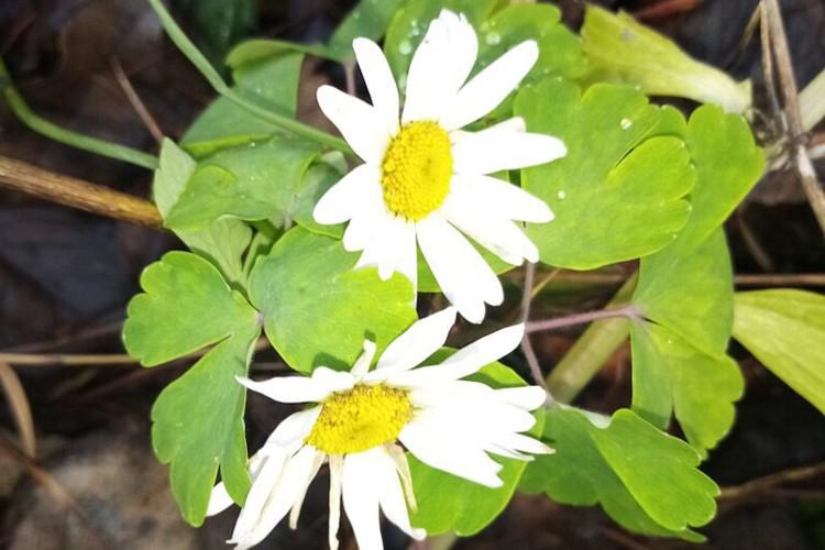 Розы, шиповник, одуванчики: аномальное тепло обмануло растения в Нижегородской области. Фото: Типичный Нижний