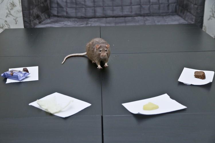 Выбор для крыса