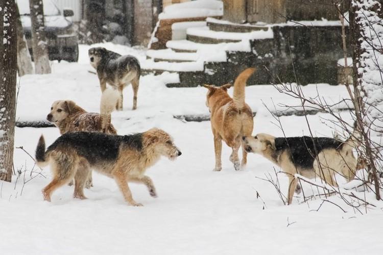 После нападения собак на людей, в Перми увеличили количество ловцов.