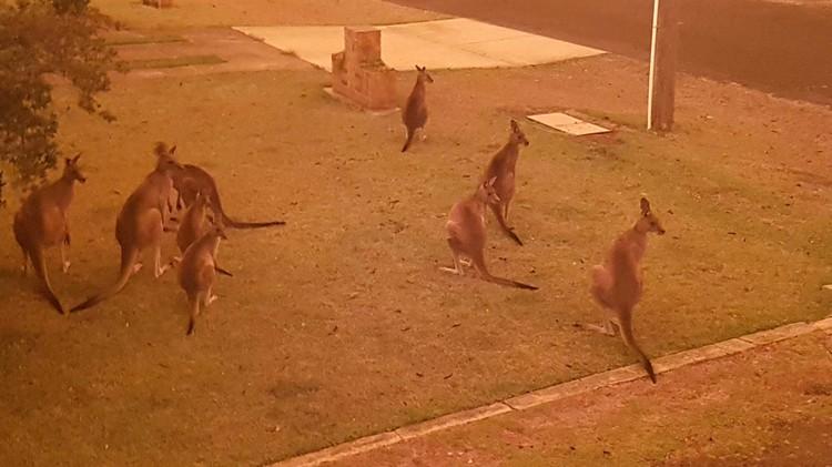 В Австралии дикие животные, пытаясь спастись от пожаров, выходят к людям.