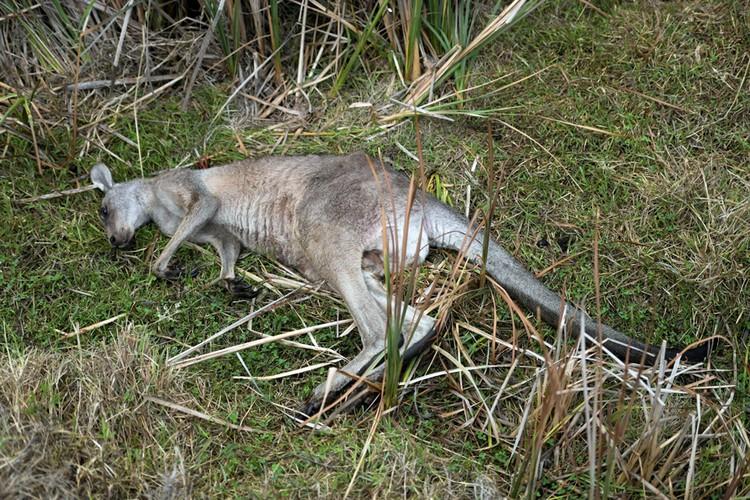 В Австралии лесные пожары уничтожили миллиард животных