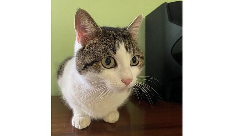 """Как утверждает владелец кошки,Дусю он нашел. Фото: """"Авито"""""""