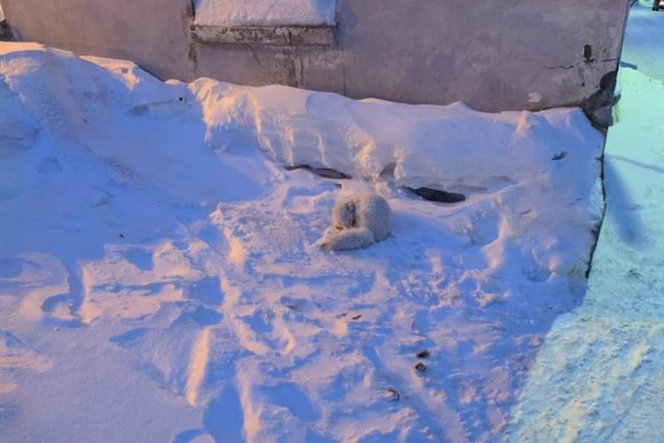 Песцы спят прямо рядом с домами людей