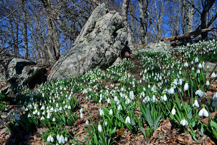 Цветущие подснежники -исимвол возрождения жизни после зимы