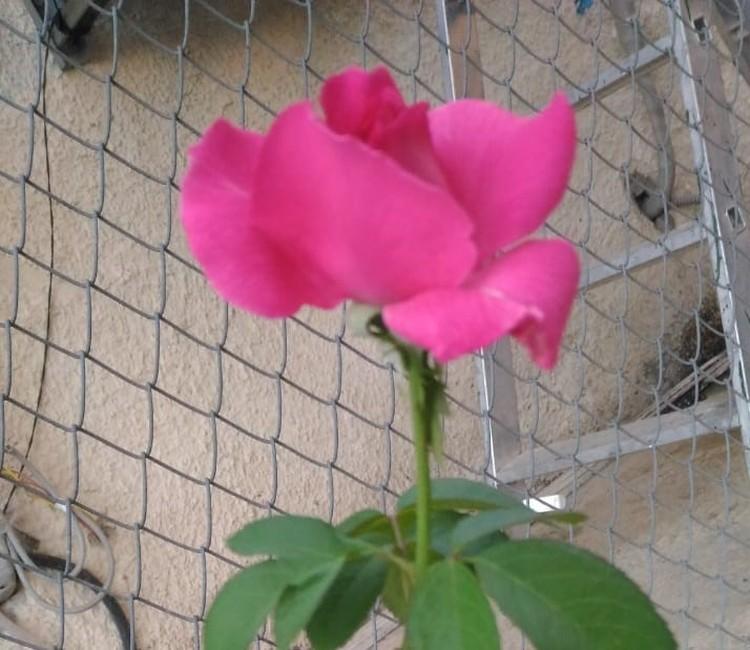 На плодородной земле в Сирии розы растут чуть ли не сами собой