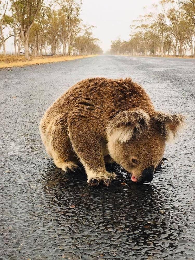 После страшных пожаров несчастные коалы были рады любой влаге.