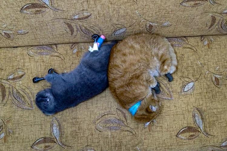 Первая в мире пара котов на протезах появилась в Новосибирске. Фото: предоставлено Ниной ПОЛОСУХИНОЙ.
