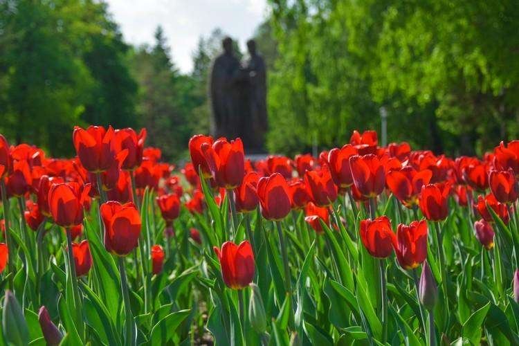 Тюльпаны возле памятника Петру и Февронии.