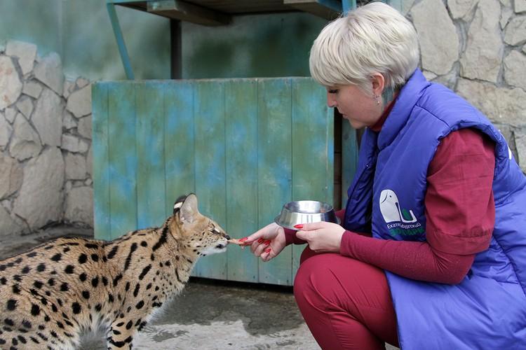 Сервал очень любит красную рыбку. Фото: Екатеринбургский зоопарк