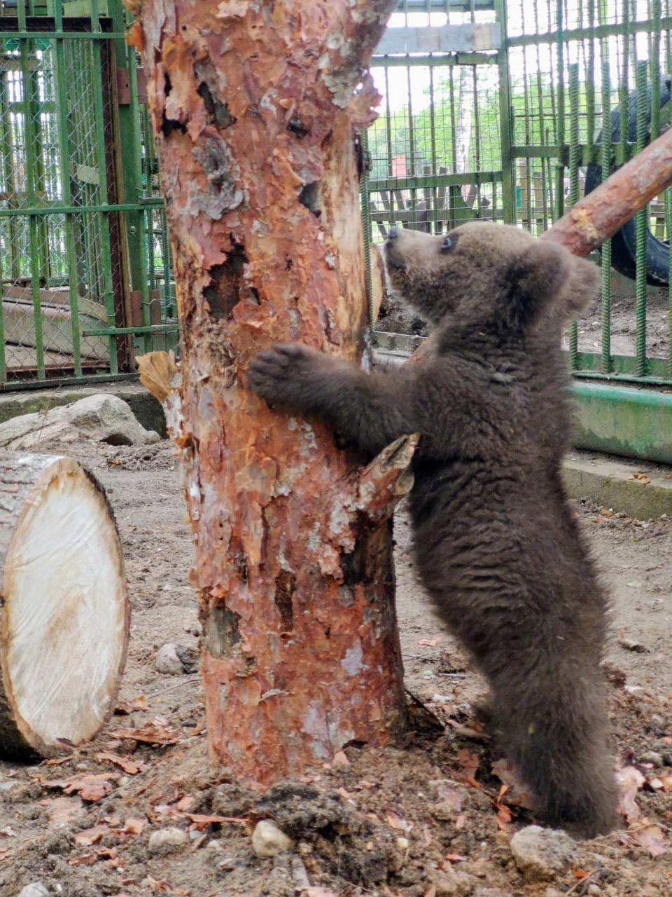 Медвежонок обживается в новом вольере. Фото предоставлено Березинским заповедником.