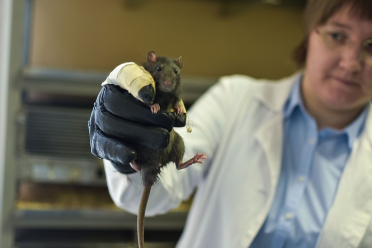 Это пока не трансгенная мышь. Они появятся только к осени.