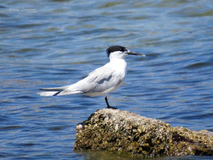 Пестроносая крачка - маленькая, но шумная птичка Фото: Виталий Гирагосов