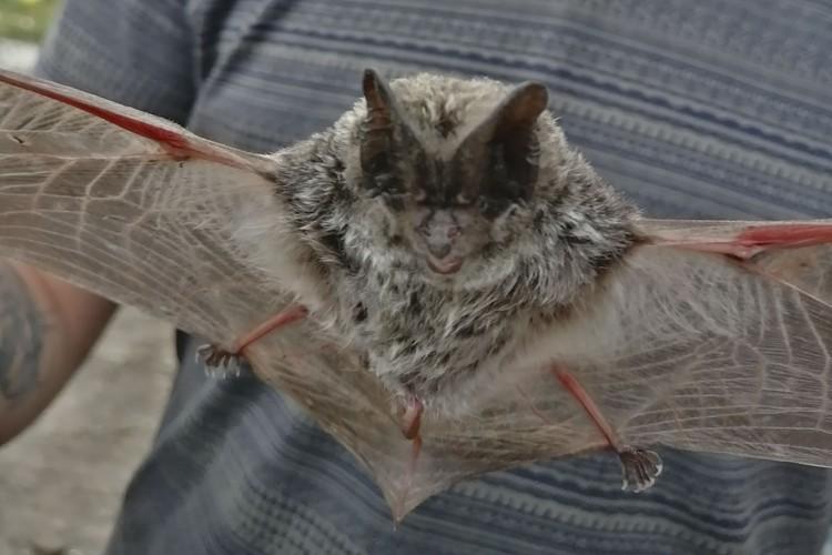 Ученые советуют избегать лишних контактов с летучими мышами. Фото: Александр ЖИГАЛИН.