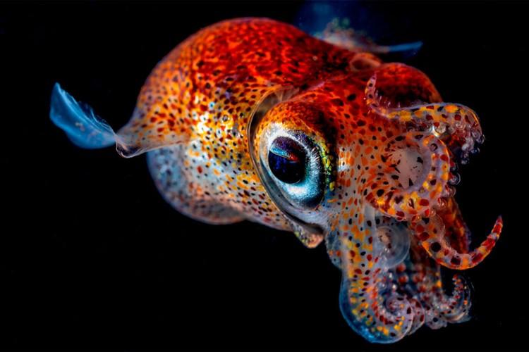 Номинация «Подводный мир». Каракатица сепиола двурогая. Автор: Андрей Шпатак. Место съемки: Приморский край, Японское море, бухта Рудная