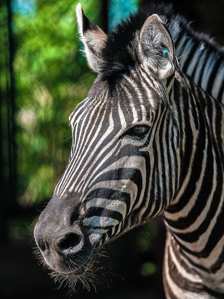 На самом деле зебры черные в белую полоску