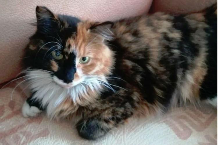 Порой даже у «дворовых» кошек получаются такие восхитительные окрасы, что можно ими залюбоваться! Фото: avito.ru