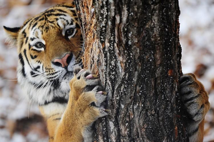 Амурский тигр и дальневосточный леопард – это те виды, с которыми удалось переломить тренд в последние десятилетия. Фото: Юрий Смитюк/ТАСС