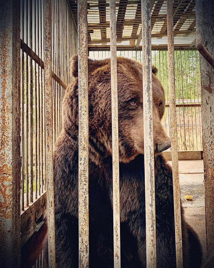 Медведь с детства живет в вольере. Фото: vk.com / Дарья Соколова
