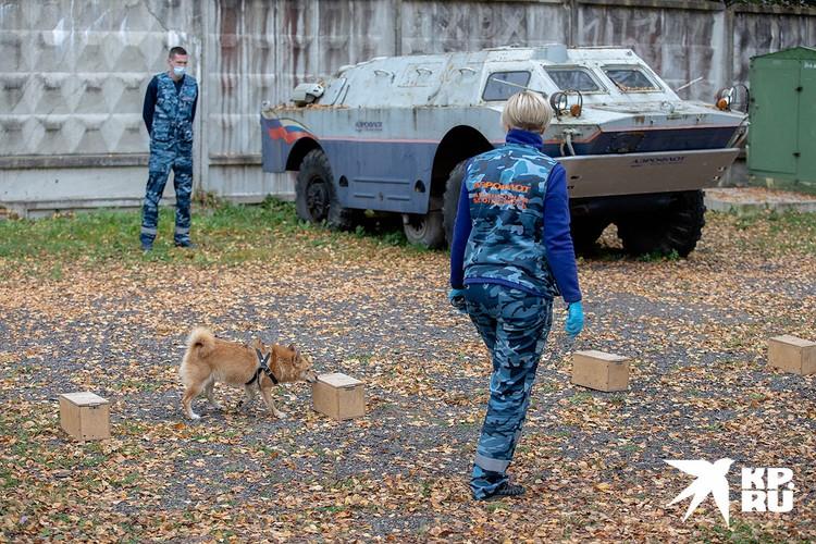 Так собак тренируют на поиск взрывчатых веществ.