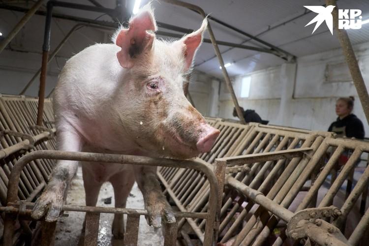 """Зачастую, для тренировки хирургов используют свиней. Но их """"возможности"""" сильно ограничены."""