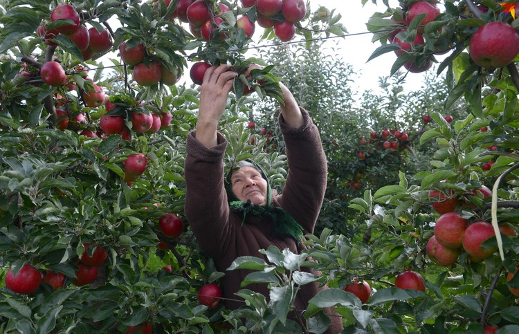 Для многих сбор яблок - дополнительный заработок к пенсии.
