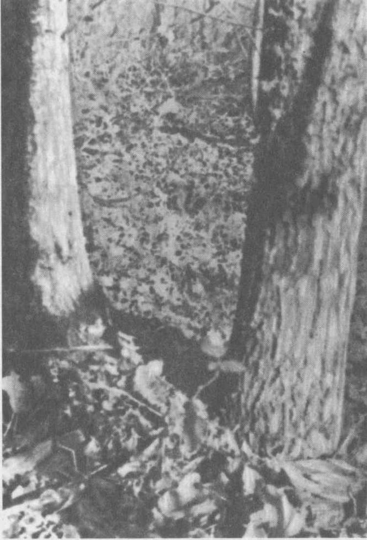 Горячий Ключ. Деревья на вершине горного хребта, под которыми была закопана рукопись. Октябрь 1958-го. Фото: Аллы Андреевой.