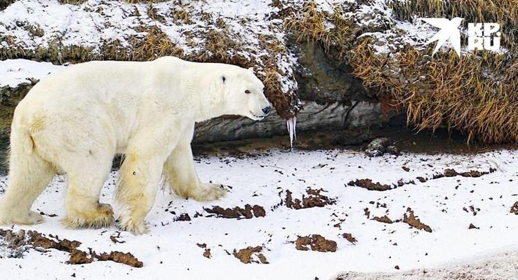 Как море замёрзнет, все белые медведи потянутся по льду к островам. Фото Николая Николаева