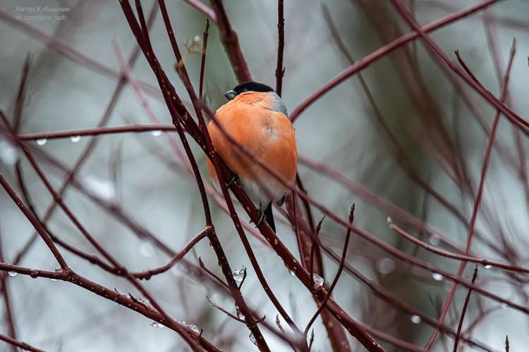 Атицы считаются предвестниками зимы Фото: vk.com/bird_spb