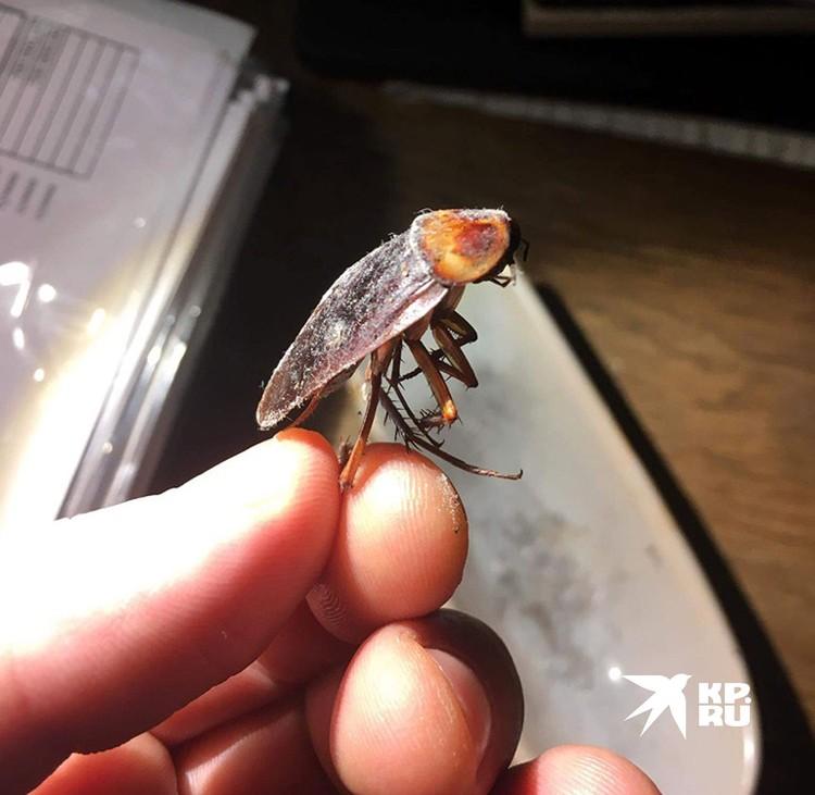 Американские тараканы появились здесь еще в начале ХХ века, их завез американский дипломат.