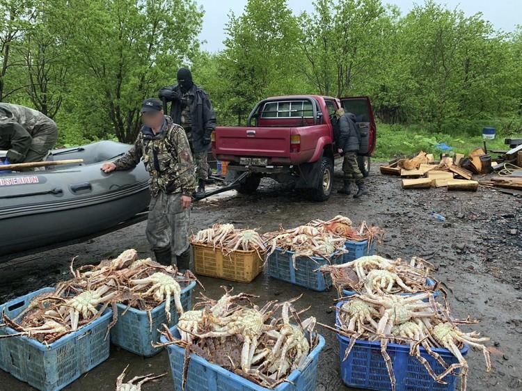 Практически промышленные объемы браконьерской добычи краба