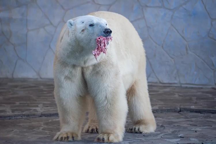 Зимой медведь предпочитает рыбий жир. Фото: ростовский зоопарк