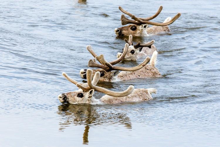 В России, по оценкам биологов, живет 950 тысяч диких северных оленей. Фото: Дмитрий Болдырев / WWF России