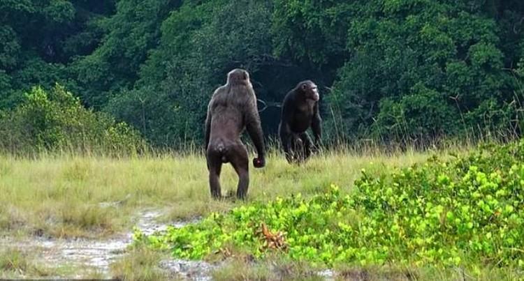 Для столкновений с гориллами шимпанзе собирают отряды.