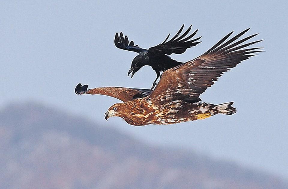 считают, что фото орла и ястреба вместе серпухове при проведении