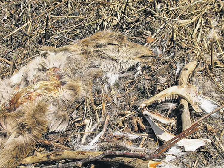 Останки краснокнижного оленя - таких могильников в окрестностях поселка Преображение множество.