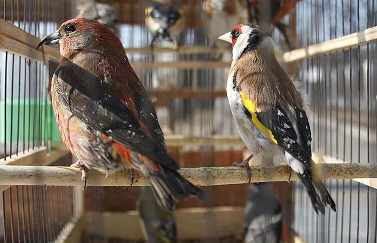 Трели птиц прописывались лекарями ещё в Древней Индии.