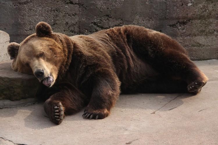 На медведя Фиму в затмение напала такая лень, что его даже начало подташнивать.