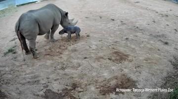 Первые шаги новорожденного носорога сняли на видео в австралийском зоопарке